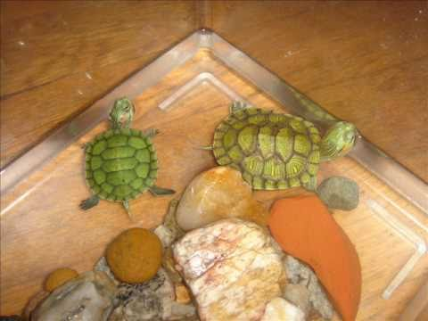 how to take care of a red eared slider turtle   youtube