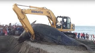 Whale vs Excavator - Burial of the World's Biggest Animals With Excavator