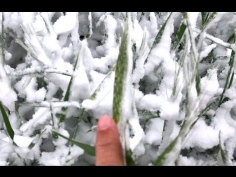 America Loses 30% of It's Wheat Crop, First Mini Ice Age Grain Crop Damage, Global Prices Up (359)
