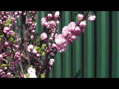 Миндаль махровый.Цветение весной.