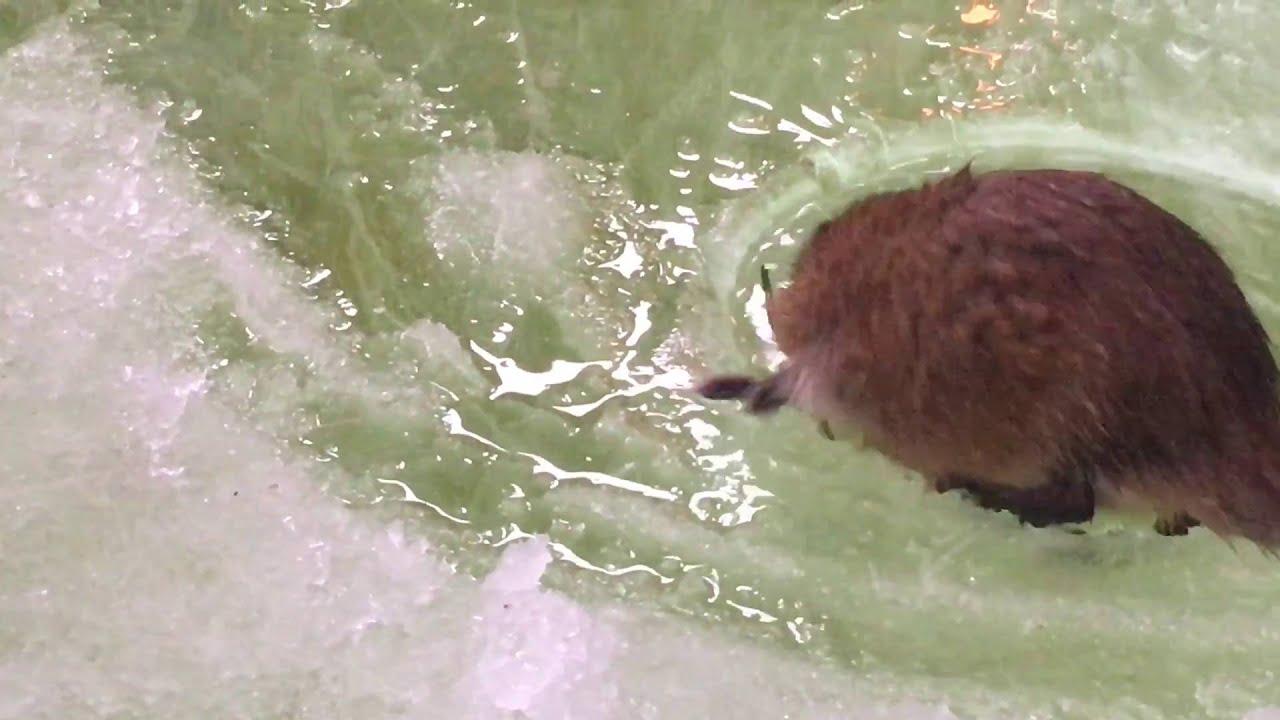 cRAZY Ice Fishing Muskrat