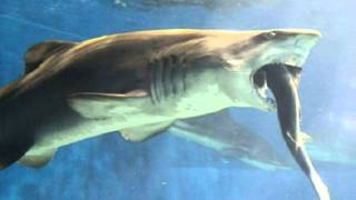 Japanese aquarium staff horrified by shark that went cannibalistic