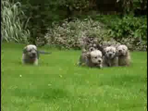Dandie Dinmont Terrier wallpaper