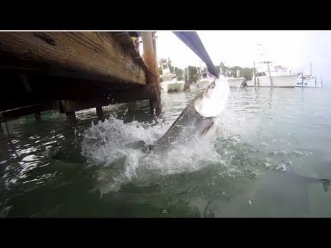 ***ORIGINAL*** KID vs. GIANT TARPON - Giant Tarpon almost steals kids jacket!