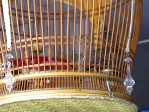 นกเขาชวาเสียงใหญ่ จากสายบุรี