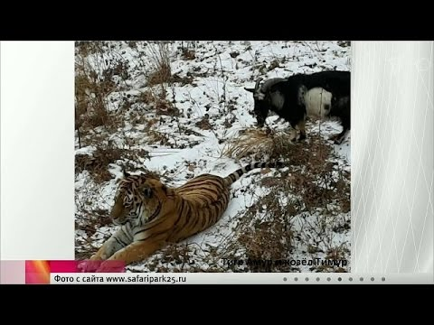Амурский тигр и козел: Дружба