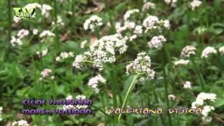 Kleine Valeriaan - Marsh Valerian - Valeriana dioica