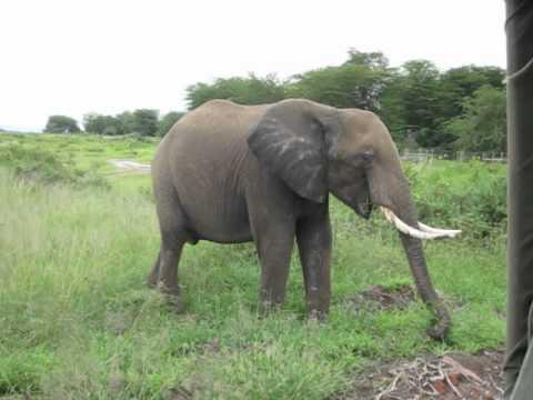 African Safari Kenya Elephant Fart