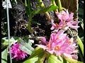 Anggrek Yang Tahan Lama   Dendrobium Bracteosum (dendrobium Karang Merah) & Dendrobium Tannii