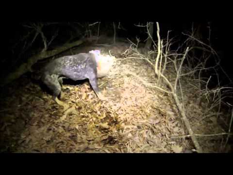 GoPro Coon Hunt HD