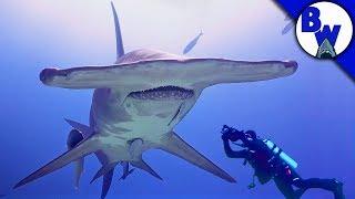 MASSIVE Hammerhead Shark Filmed in Bahamas!