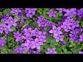 view Un Ramito De Violetas