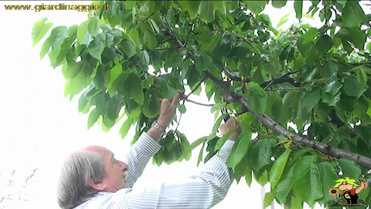 Piante Di Ciliegio Autofertili : Coltivare il ciliegio youtube