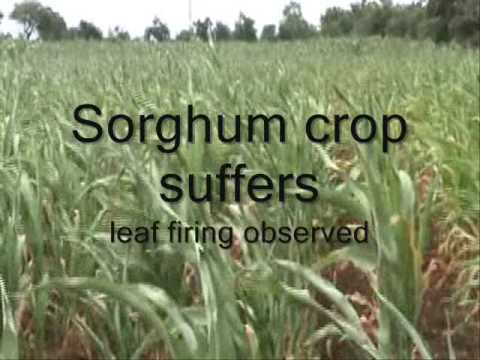 Sorghum hybrid productivity potential decline due to midseason drought