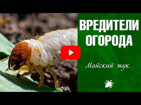 Вредители огорода ➡  Личинка майского жука ☑️ Как бороться?