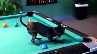 Chihuahua Playing Pool - I Am Bored.mp4
