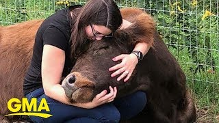 Cow cuddling is a thing and it costs $75 an hour | GMA