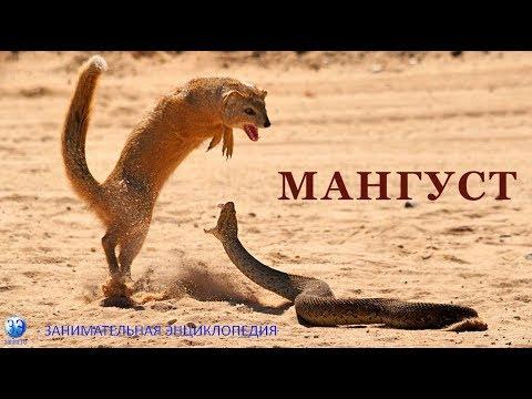 Серия 7. Мангуст - бесстрашное животное. Подробный рассказ, включая бой со змеей и жизнь у человека.
