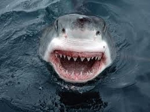 Shark Attack - Great White Shark Attacks Boat