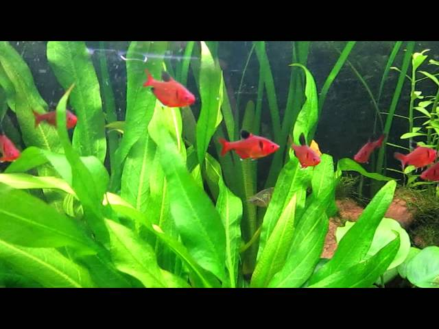 Species Info: Serpae Tetra (Red Minor Tetra)