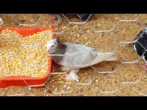 Criação de Pombos