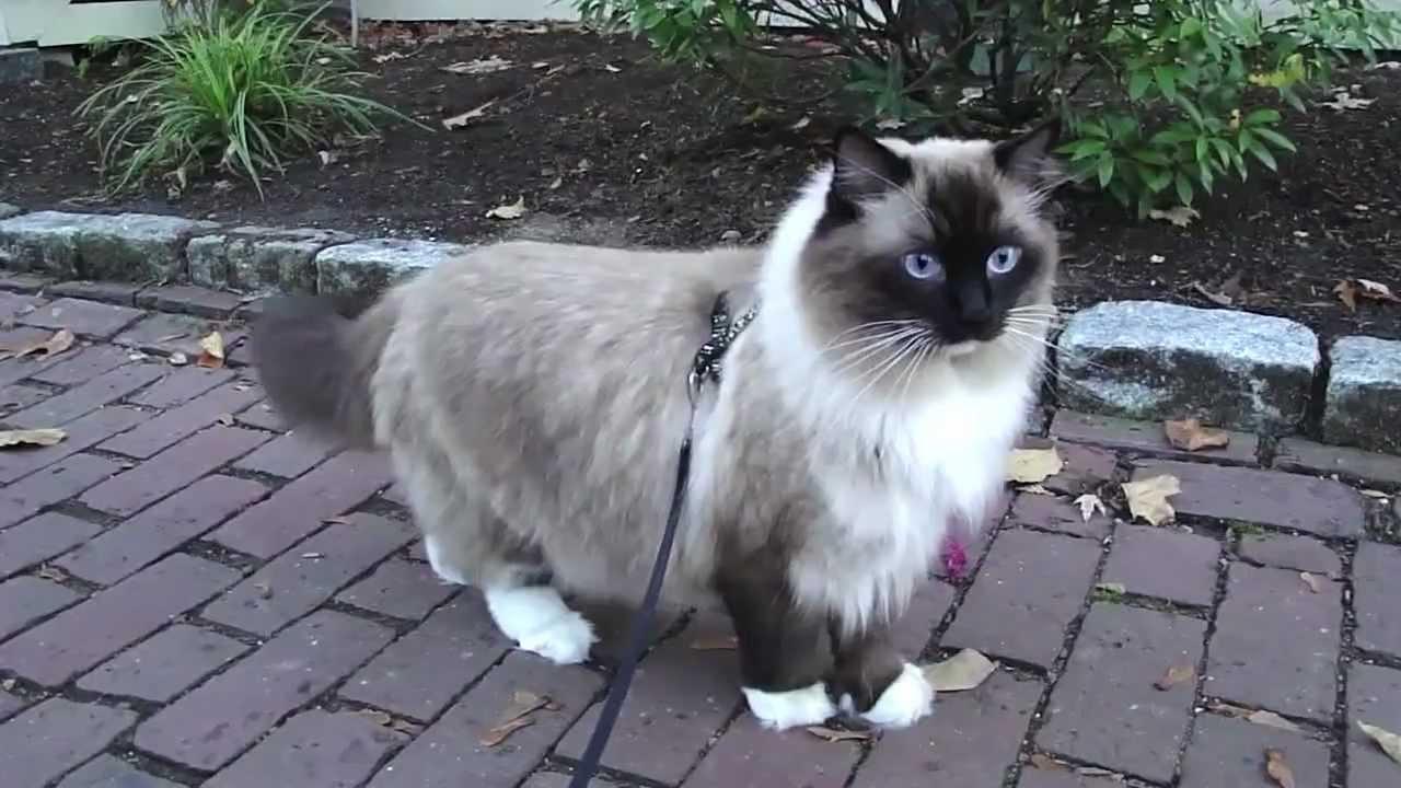 ugo chan ragdoll cat walking on leash youtube. Black Bedroom Furniture Sets. Home Design Ideas
