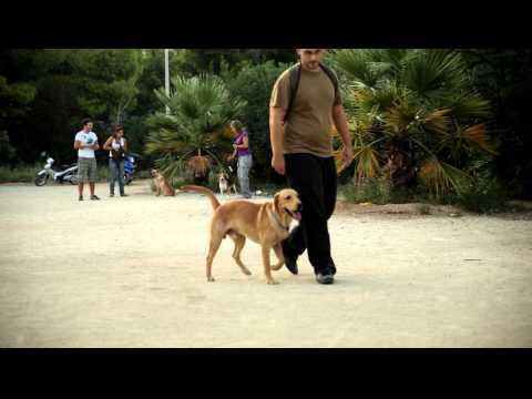 Εκπαιδευση σκυλων - Υπακοη χωρις λουρι Labrador - k9training.gr