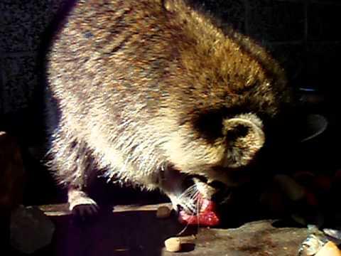 2011.2.22 アライグマの食事 おびひろ動物園