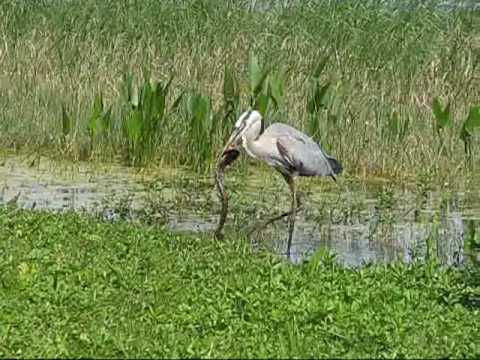 Heron vs Snake Leesburg FL April 2010.wmv