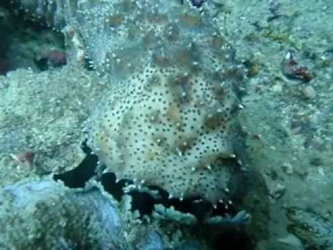 Scuba Diving with an Amazing Sea Cucumber feeding - Rare Sight - on the Great Barrier Reef