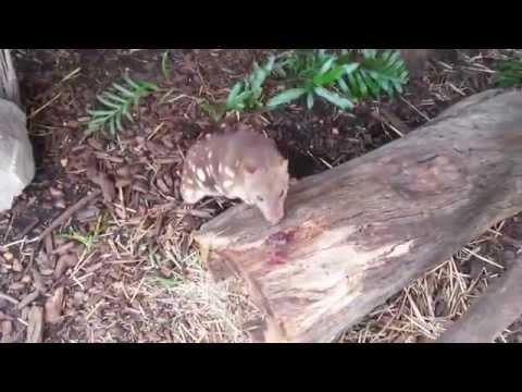Australian Wildlife - Quoll hide & seek