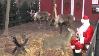 [ReindeerCam.com] Santa Feeding Reindeer