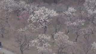 偕楽園で梅まつり始まる