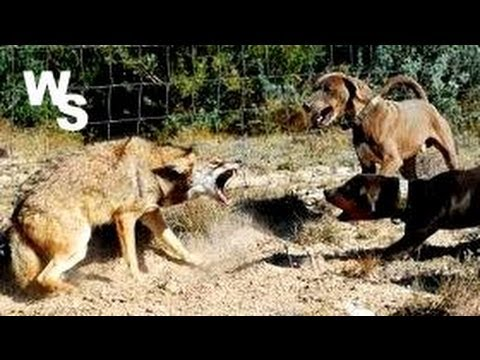 Will Coyotes Fight With Large Dogs