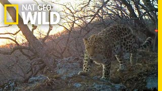Listen to World's Rarest Leopard—Recorded in Wild for First Time   Nat Geo Wild