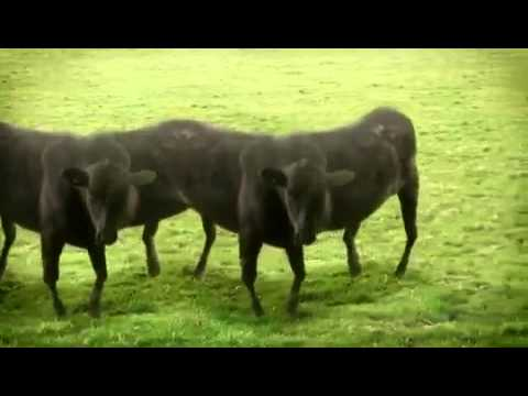 Funny dancing cows