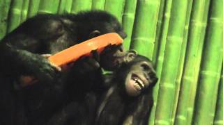 Halloween Enrichment (in the Chimpanzee Forest)