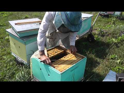 собираю пчелиные гнёзда на зиму
