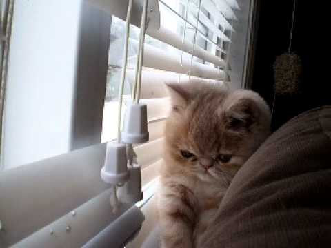 Exotic Short Hair Kitten Playing with Blinds!