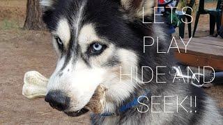 Husky MAX Hiding His Bone   How to Hide   Funny Husky   Life With Siberian Husky  