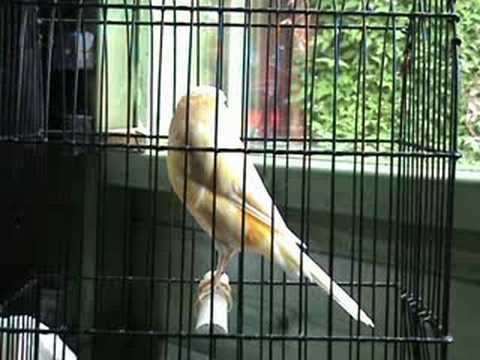Yorkshire Canaries For Sale Some of Our Yorkshire Canary