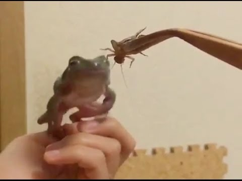 カエルがエサをシジャンプ捕食!?失敗!