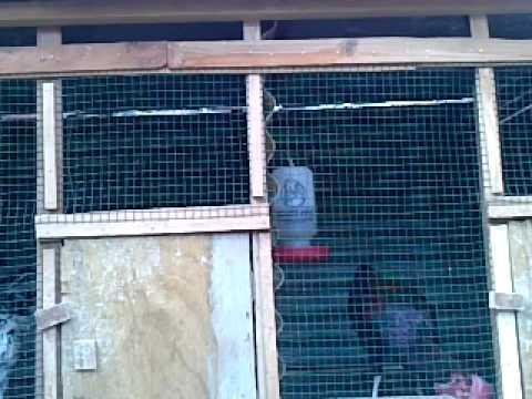 Ayam Bekisar Suara Lantang video