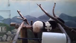 TRY NOT TO LAUGH FUNNIEST PANDA VIDEOS  EVER Funny Babies and Pets