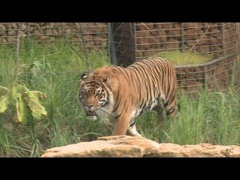 Sumatran tiger takes swimming lessons at London Zoo