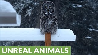 Rare footage of the elusive great gray owl