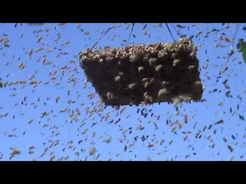 как ловить пчел если они роятся