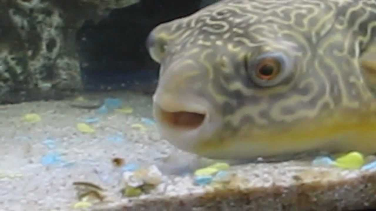 tetraodon mbu puffer fish eating crab shrimp leon
