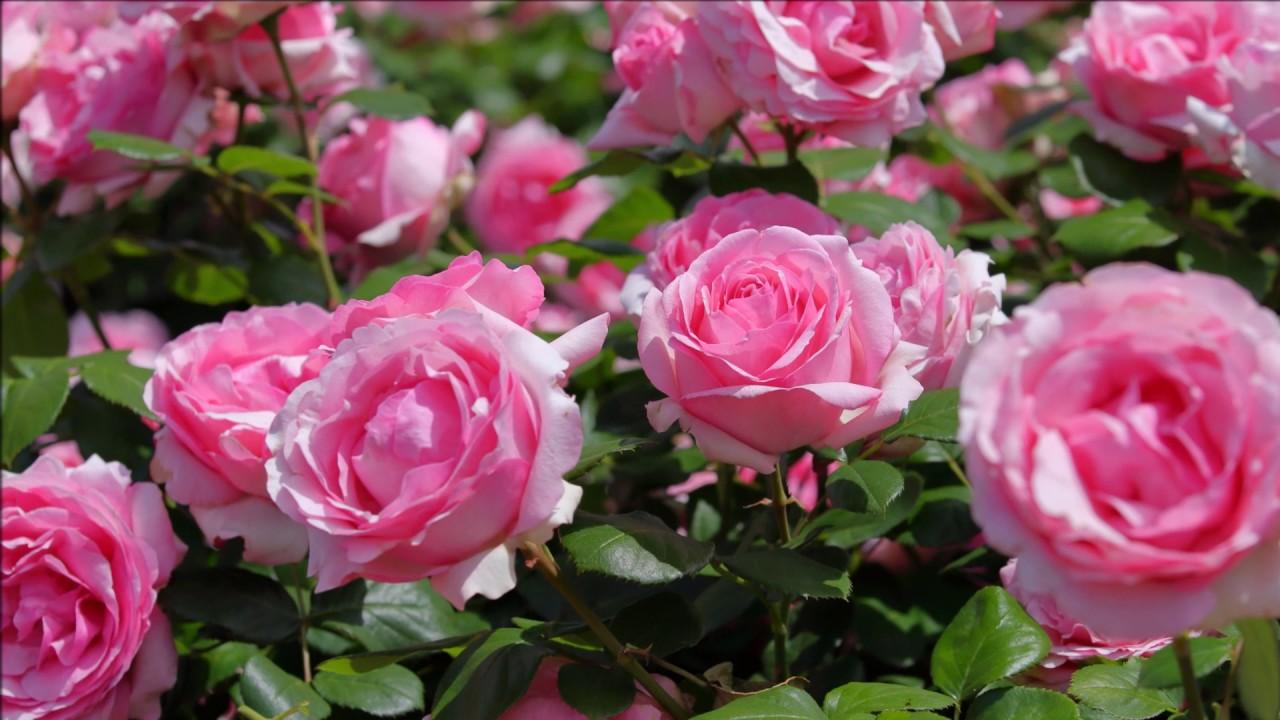 バラの画像 p1_38