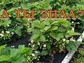КЛУБНИКА: ВАЖНО на этапе цветения и плодоношения!